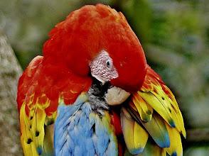 Photo: Hellroter Ara, auch Arakanga genannt (Ara macao, Scarlet Macaw)