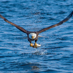 Nice catch by Qing Zhu - Animals Birds ( water, eagle, poultry, bald eagle, wildlife, catch fish, prey, grip, feather, dlight, bird, predator, nature, avain, wings, hunting, fishing, survival, animal )
