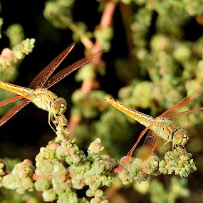 Dragonflies by Govindarajan Raghavan - Animals Insects & Spiders