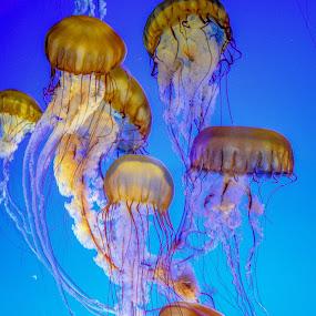 Jelly School by Justin Murazzo - Animals Sea Creatures ( fish, ocean, yellow, beauty, float, tranquil, jelly, hood, deep, jellyfish, water, indigo, orange, animals, sea creatures, monterey, purple, california, beautiful, stingers, pacific, sea, bay area, tentacles, northern, magenta, red, school, blue, bay, violet, aquarium, brown, tranquility,  )