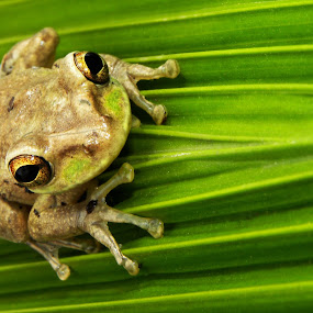 Sitting Pretty by Jessica Rowley - Animals Amphibians ( macro, cuban tree frog, green, tree frog )