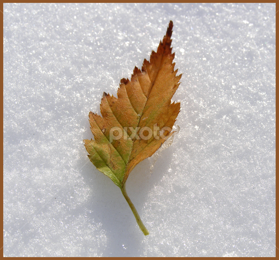 ZAMRZNUTI LIST by Zeljko Sajko-Saja - Nature Up Close Leaves & Grasses ( fall leaves on ground, fall leaves, winter, cold, priroda, snow, list, snijeg, smrznuta, voda )