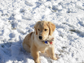 Photo: Golden Meadows Retrievers puppy playing in the snow