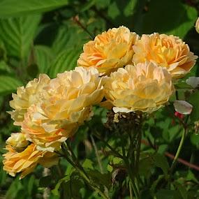 orange roses by Arif Burhan - Flowers Flower Gardens ( orange, roses, garden )