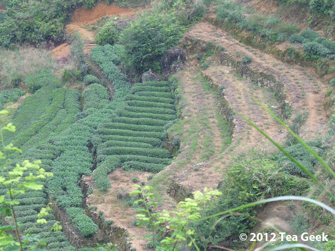 """Photo: As we left the Tie Guanyin """"mother plant"""" of the Yin family legend, we passed by a terrace lower down the slope that was in process of being replanted with new tea bushes. #tea #tieguanyin"""