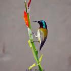 Fork-tailed SunBird (male)