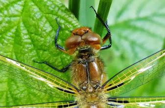 Photo: Spitzenfleck (Libellula fulva)5