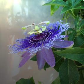 Inspiration Passion Flower by Ilona Stefan - Flowers Single Flower (  )