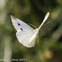 Southern Small White