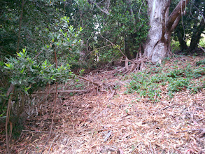 Photo: The only thing that grows well under the eucalyptus is the poison oak. The rhizomes/vines intertwine with the bark. This mess has become habitat for many species, deprived of a better home by loss of habitat to this invasive weed.