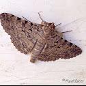 Brown Moth with Black markings