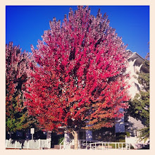 Photo: Beautiful fall tree in Maple Ridge #intercer #walk #tree #trees #branch #branches #leaf #leaves #street #light #sun #city #fall #urban #design #town #britishcolumbia #canada #pretty #beautiful #yellow #green #red #building #autumn - via Instagram, http://instagr.am/p/Qfh_KcJfoO/