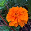 Durango Orange Marigold