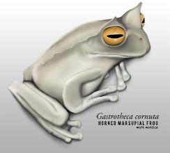 Photo: Gastrotheca cornuta | Eyelash marsupial frog, painted in Photoshop