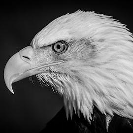 Sam by Garry Chisholm - Black & White Animals ( bird, garry chisholm, eagle, nature, wildlife, prey, raptor )
