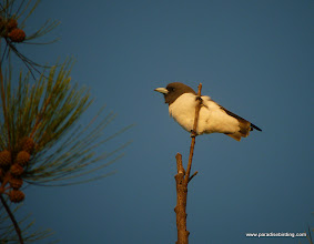 Photo: White-breasted Woodswallow, Mantanani Island