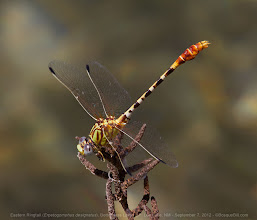 Photo: Last (I think) of my Bitter Lake Dragonfly Festival photos, this one an Eastern Ringtail at Bottomless Lakes SP. +BugsEveryday #odonata