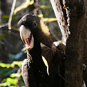 Yellow-tailed Black Cockatoo (female)