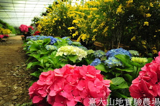 Photo: 拍攝地點: 梅峰-溫帶花卉區 拍攝植物: 繡球花(前方 紅色 藍色) 與 金雀花(後方 黃色) 拍攝日期:2012_04_03_Yah