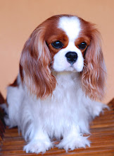 "Photo: Cavalier King Charles Spaniel ""Cash"" (2,5 y.o.)"