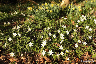 Photo: Wood Anemones with Daffodils