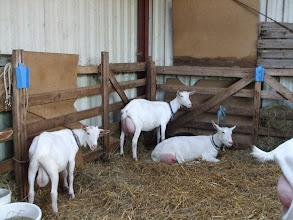 Photo: Nooro's Ido, Dinant, Sientje, Casilda, Chavon en Stina wachten op hun opname in het stamboek of hun herkeuring.