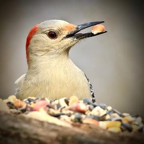by Mike Craig - Animals Birds ( woodpecker,  )