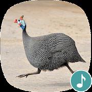 Appp.io - Guinea Fowl Sounds & Calls
