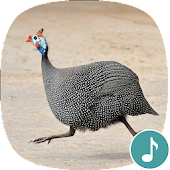 Appp.io - Guinea Fowl Sounds & Calls