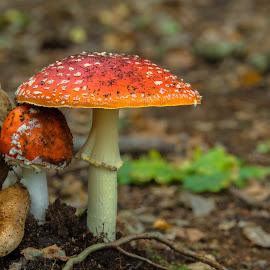Mushrooms by Natasja and Martijn - Nature Up Close Mushrooms & Fungi ( macro, fungi, autumn, forest, mushrooms )