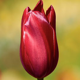 0 Tulip 99903~ by Raphael RaCcoon - Flowers Single Flower