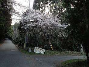 ここで右に(桜が綺麗に)