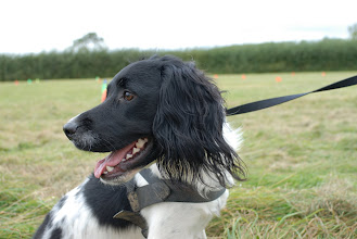 Photo: Now that is a beautiful shot of Billy Springer Spaniel!