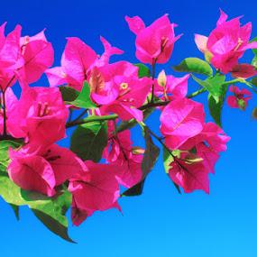 Zinia Elegan  by Agunk Setiajaty - Nature Up Close Flowers - 2011-2013