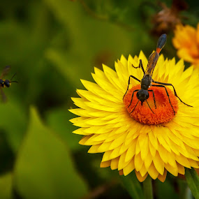 Bug on a Yellow Flower by Olga Gerik - Flowers Flowers in the Wild ( bees, bugs, flowers, garden,  )