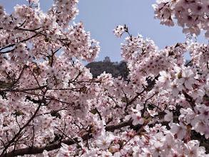 Photo: 桜と岐阜城