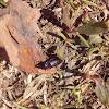 Carabidae- Broscini \ Жужелицы-головачи