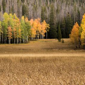 Rocky Mountain Aspen Meadow by John Shelton - Landscapes Mountains & Hills ( field, fall leaves, autumn, meadow, colorado, trees, landscape, aspen,  )