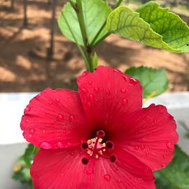 Lovely Red Hibiscus 🌺 by Indhumathi Karthikeyan - Instagram & Mobile iPhone