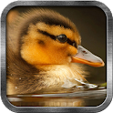 Duckling Live Wallpaper icon