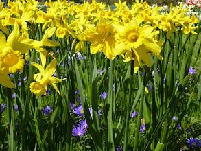 Photo: Really tall daffodils