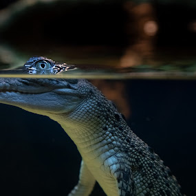 Baby Croc by I Snapit - Animals Reptiles ( crocodile, reptiles, scales, skin, baby, teeth, eyes,  )
