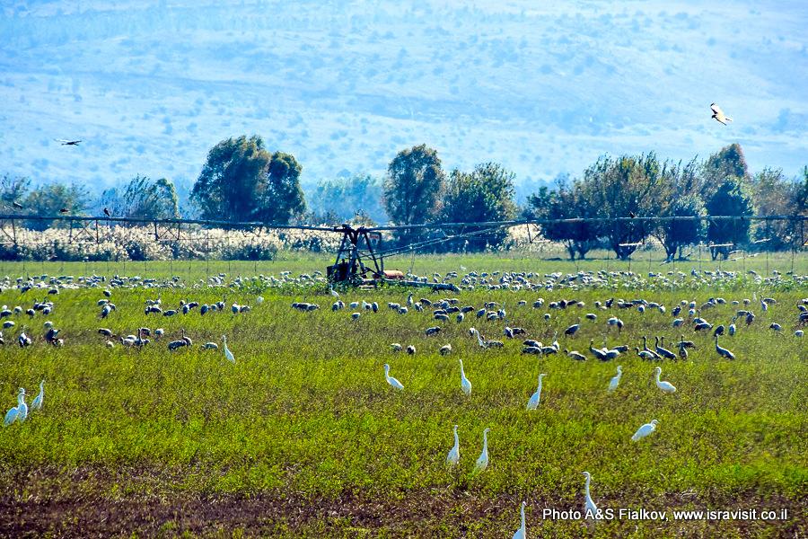 Заповедник птиц Хула на севере Израиля.