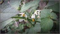 Photo: Zarna (Solanum nigrum) - de pe Str. Izvor - 2016.09.06 Album  https://ana-maria-catalina.blogspot.com/2018/07/zarna-solanum-nigrum.html