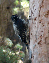 Photo: Blurry photo of American Three-toed Woodpecker. (The bird  was moving -- pecking -- and the forest dark.)