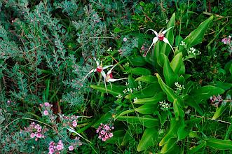 Photo: Caladenia nivalis