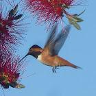 Rufus Hummingbird- Male