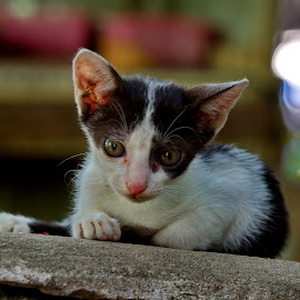 Baby Cat by Aung Kyaw Soe - Animals - Cats Portraits (  )