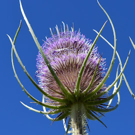 A thistle seedhead by Denton Thaves - Nature Up Close Other plants ( thistle )