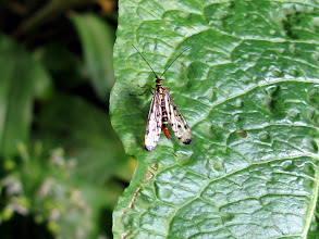 Photo: Scorpion Fly